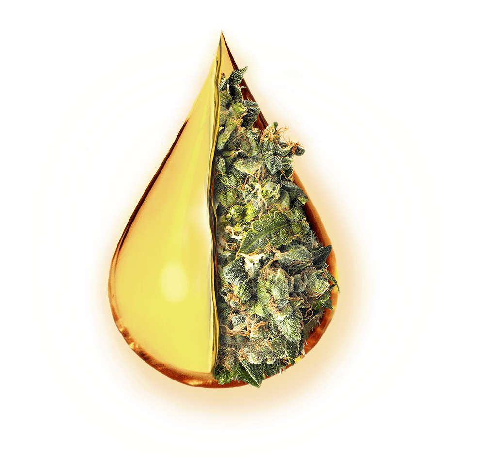 Cannabis Flower Wrapped in Extra Virgin Cannabis Oil